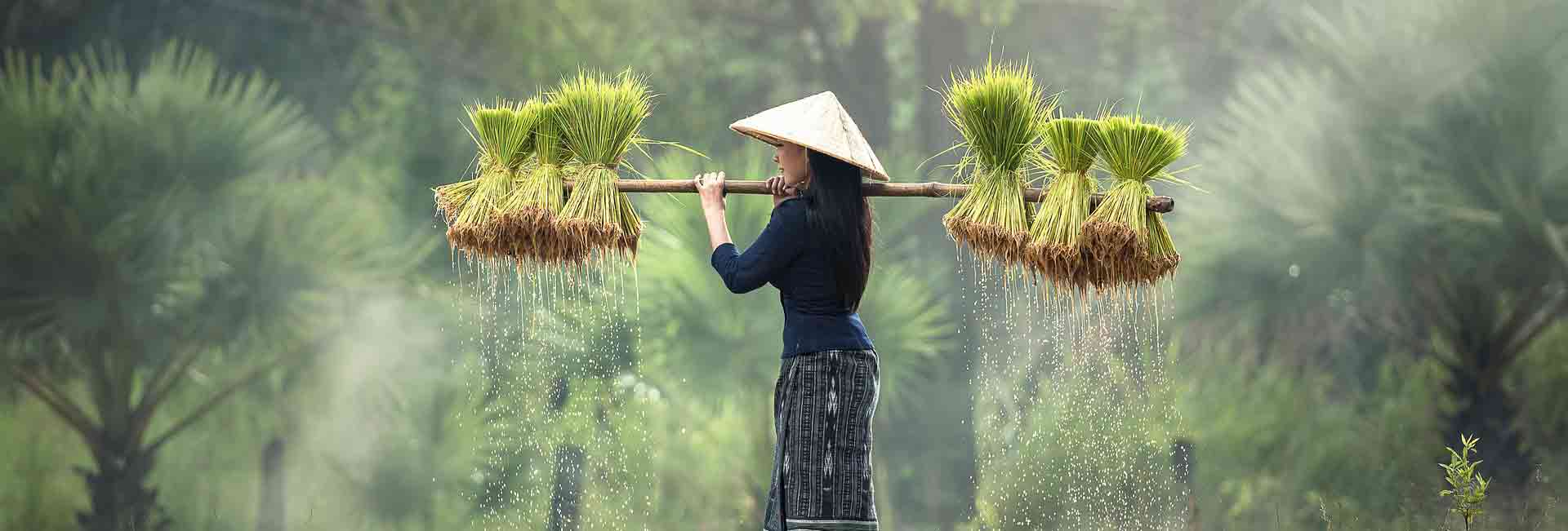 agriculture-riz-vn